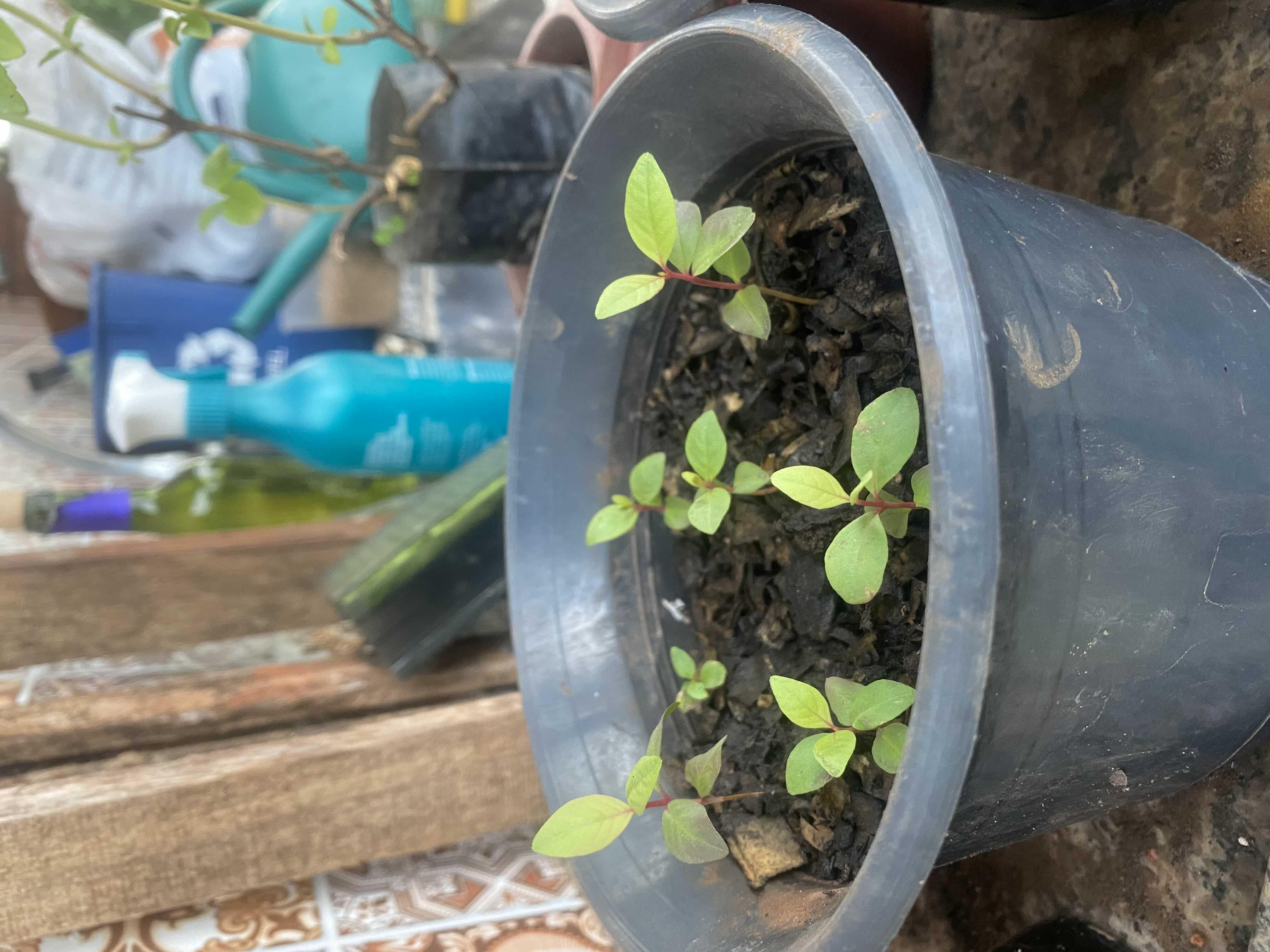 Germinação de sementes de goiabeira!