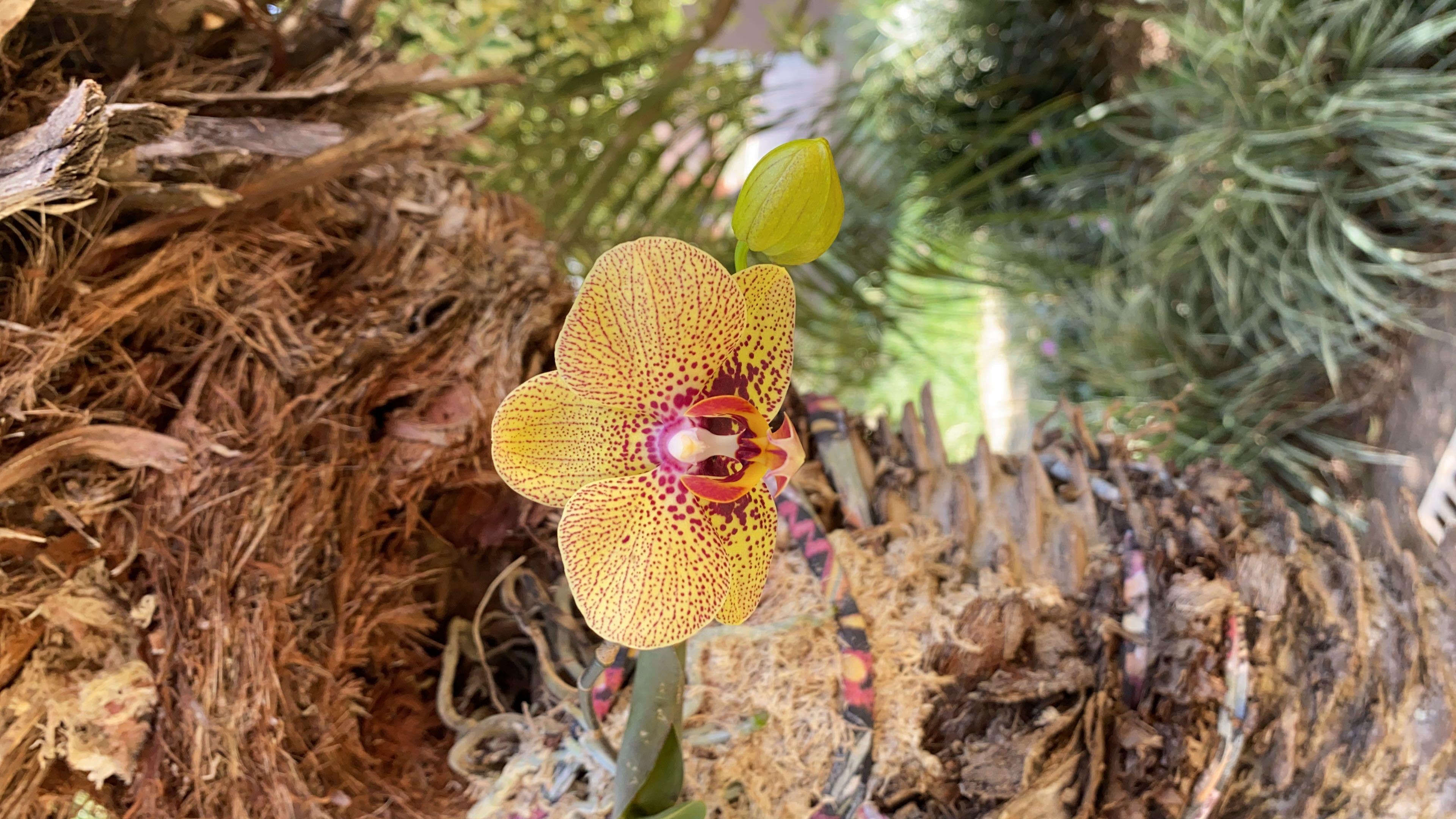 Orquídea transplantada em árvore viva!