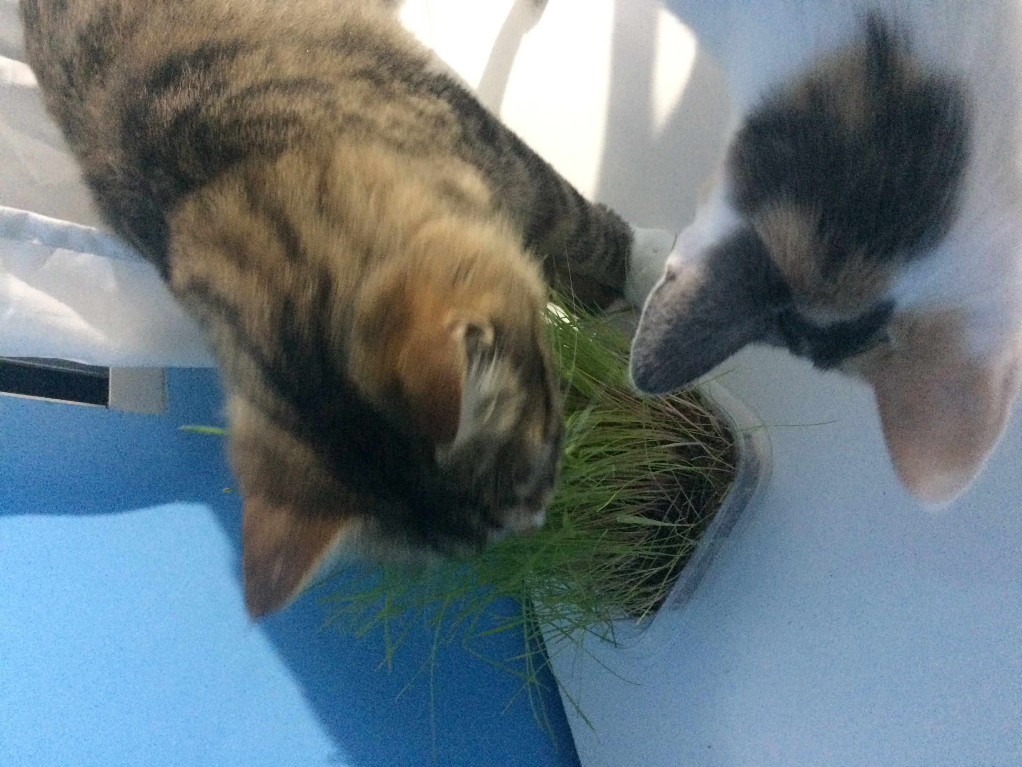 Brincando com o Capim de gatinhos 🤩