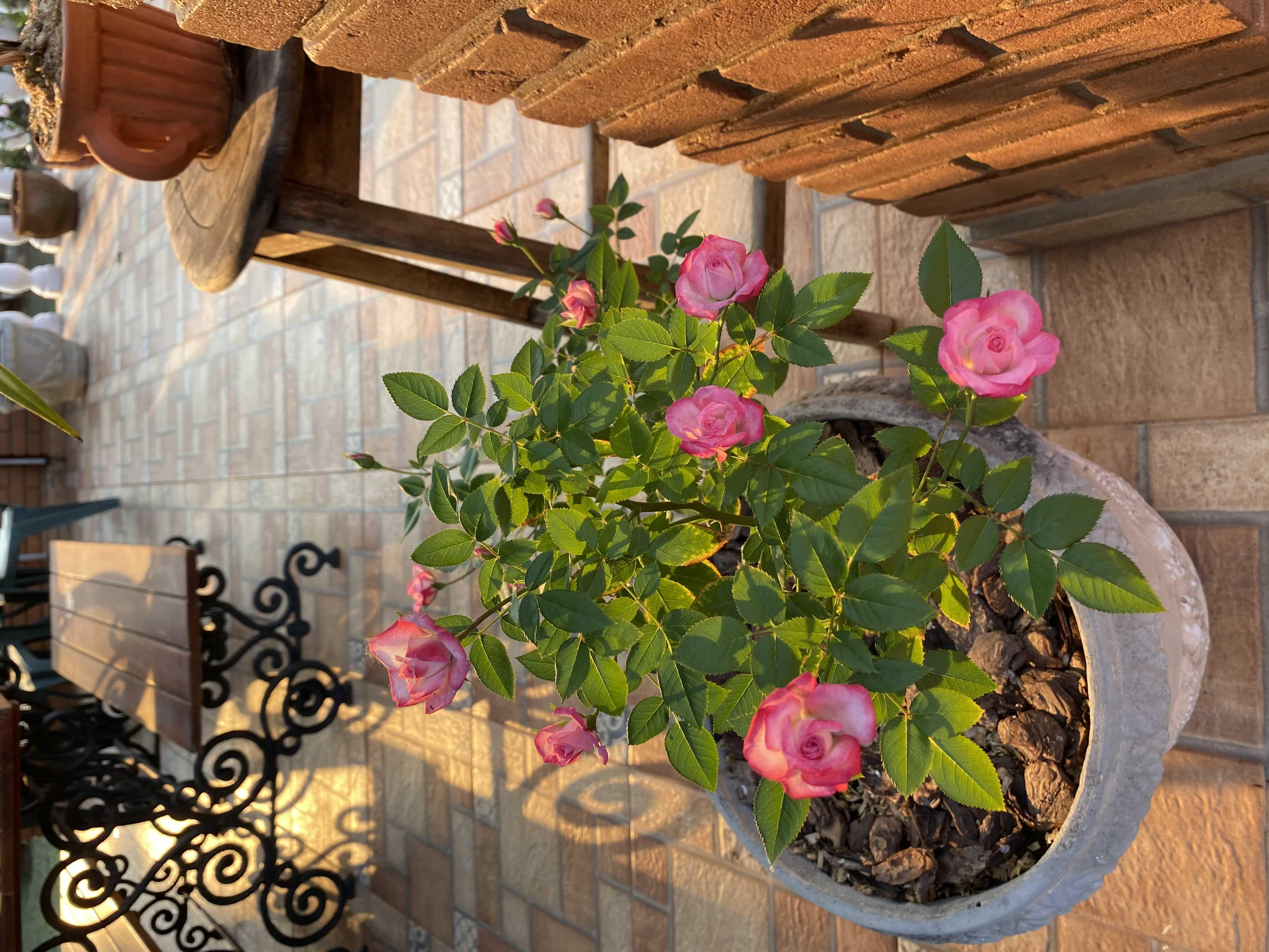 Resultado da poda drástica (invernal) de roseira.