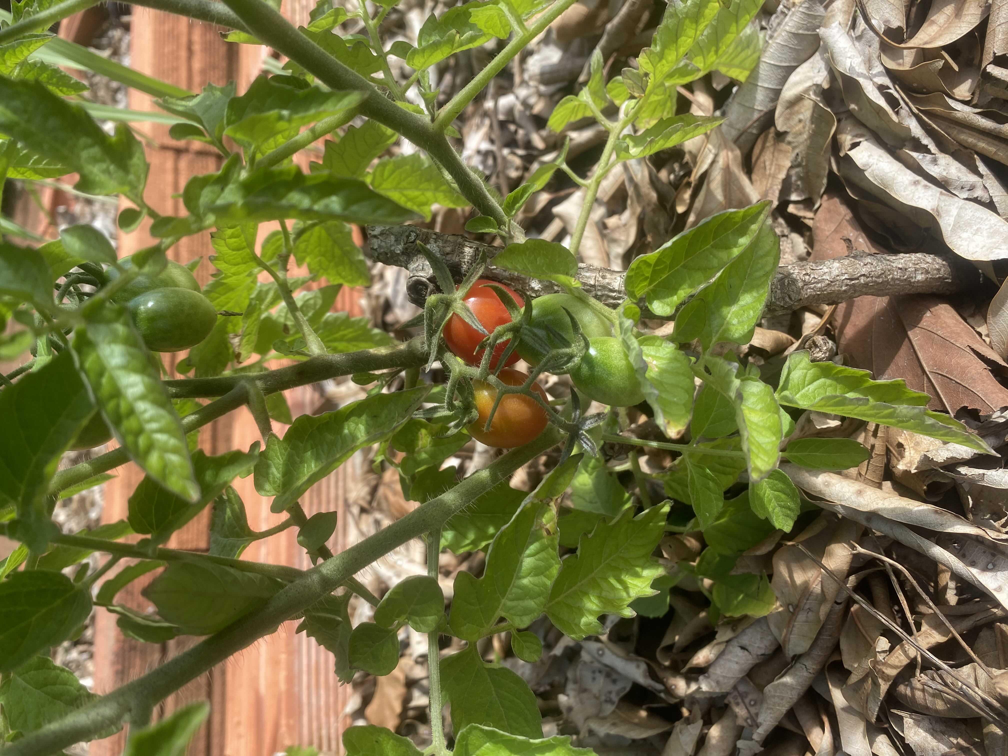 Frutificação de tomate-cereja em horta horizontal