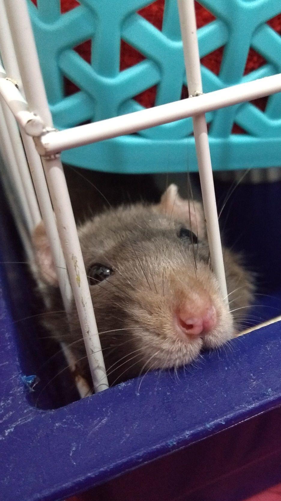 Ratinha passageira