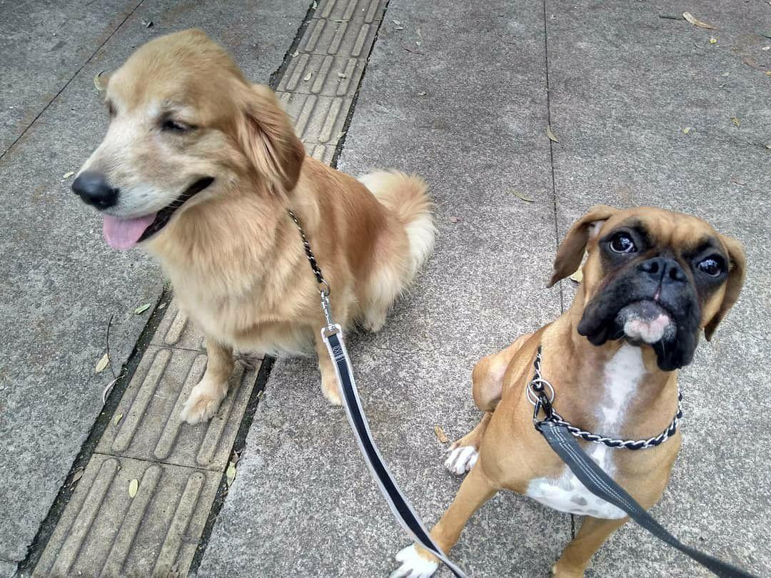 Nala e Mel, treino de passeio em dupla